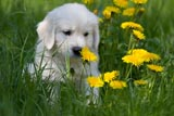 Golden Retriever Welpe