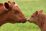 mother cow kissing her calf